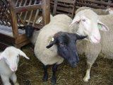 Ovce v ovčíně